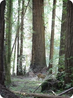 Deer in redwoods 2