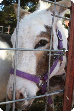 Fair mini horse