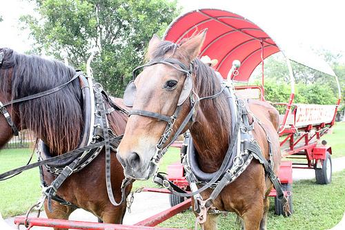 Fall fest horses