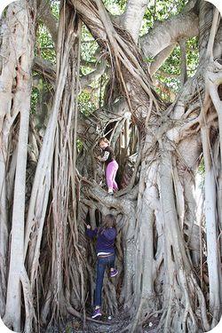 Tall tree climb