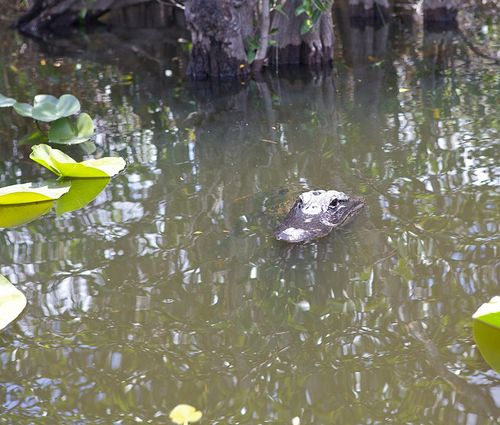 Glades gator 1 water