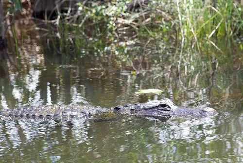 Glades water gator