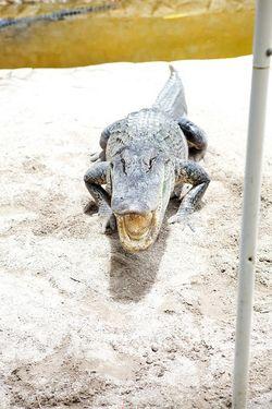 Glades hissing gator
