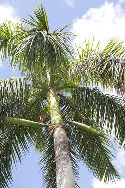 Glades palm