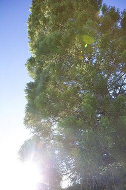 Summer tree sunflare