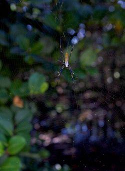 Secret woods spider