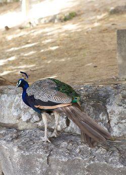 Portugal peacock