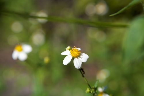 Secret woods daisy